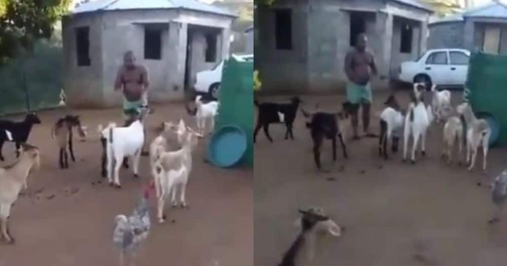 South African man  spotted in video holding a meeting with his goats