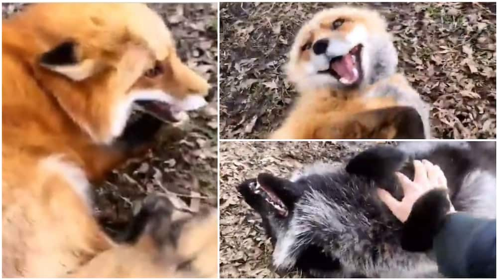 The foxes giggled as more came out to be tickled. Photo source: Twitter/@cctv_idiots