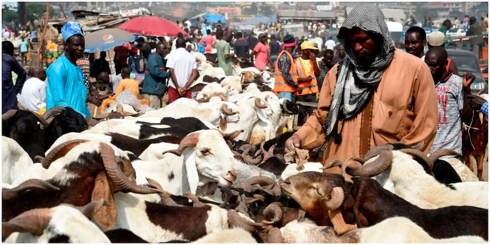 Miyetti Allah Says Cow May Cost N2 million in Lagos State Over Anti-open Grazing Bill