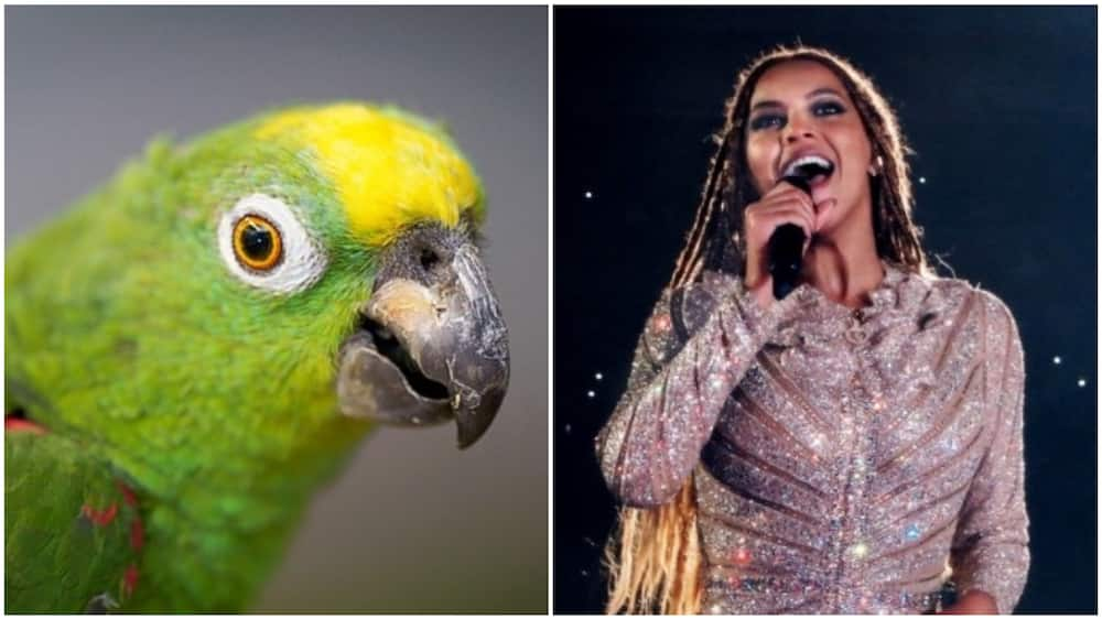 A collage of Beyonce and the parrot. Photo source: Guardian