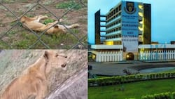 It's ridiculous and disgraceful: Outrage over video of malnourished lions left for dead inside OAU zoo