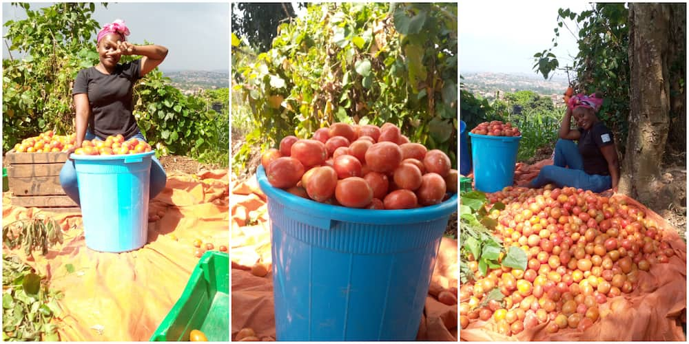Pretty lady shows off the big and shiny tomatoes she harvested from her farm, says it took her 4 months