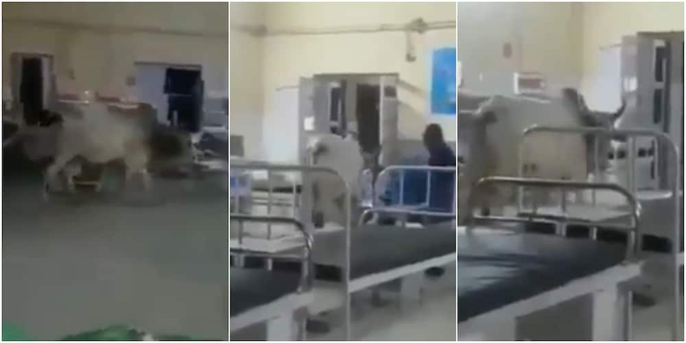 It's Performing Ward Round: Massive Reactions as Cow Walks Majestically into Hospital Ward, Video Causes Stir