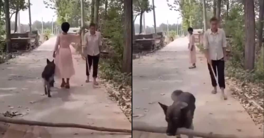Kind dog removes log from path so blind man can pass