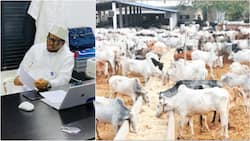 Nigerians mercilessly drag Adamu Garba for saying cow ranching business is better than cryptocurrency