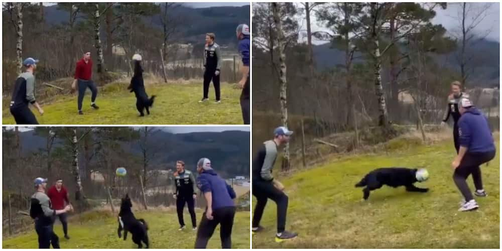 Dog juggles ball in the air in amazing showing of footballing skills, thrills the internet