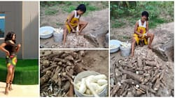 Beautiful Nigerian lady shows off the big cassava she harvested from her farm, photos spark reactions