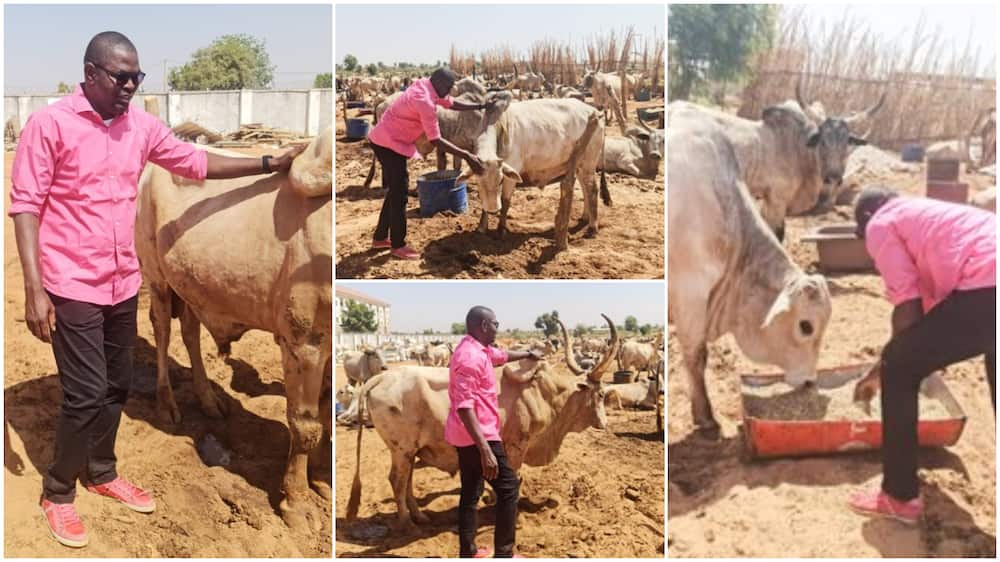 Nigerian man showcases his cow business, buys land for them, hopes to make big profit