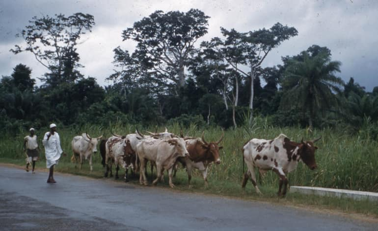 Nigerians react over report of 36 cows killed by strange lightning in Ondo