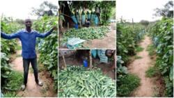 Nigerian man dumps university certificate, 'picks up hoe' & starts farming, his cucumber harvest wows many
