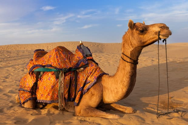 Camel milk can help in treating diabetes - Researchers reveal