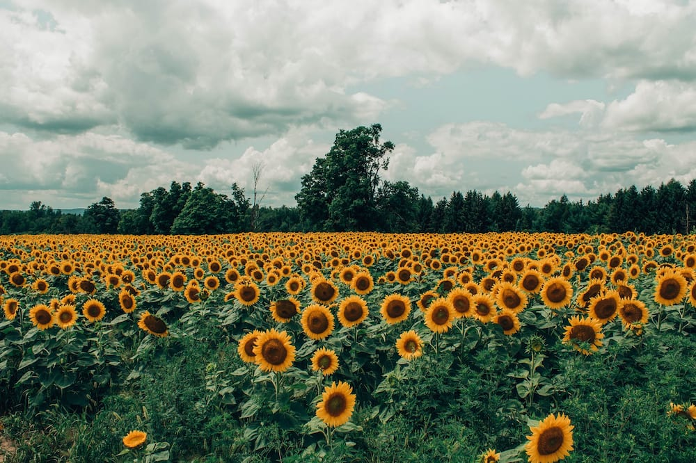 sunflower symbolism
