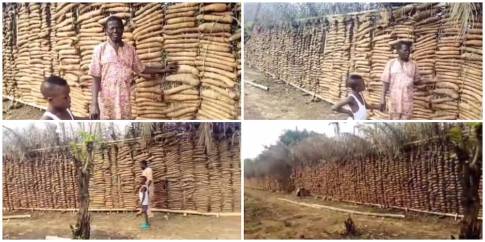 Nigerian Man Married to 7 Wives Shows Off His Huge Lengthy Yam Barns, Video Stuns the Internet, Many React