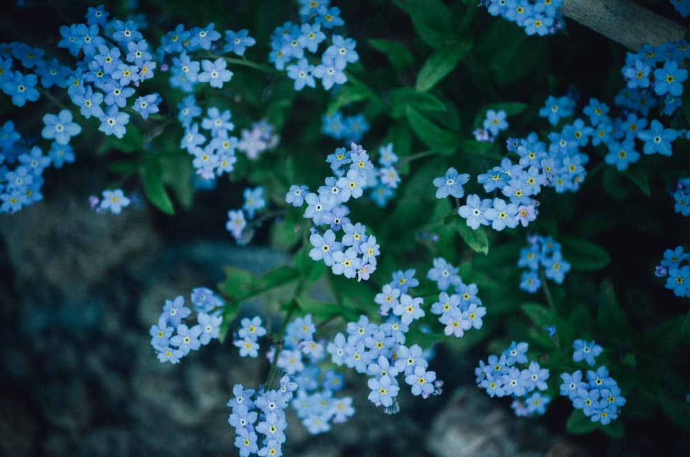 Forget-me-not means true love