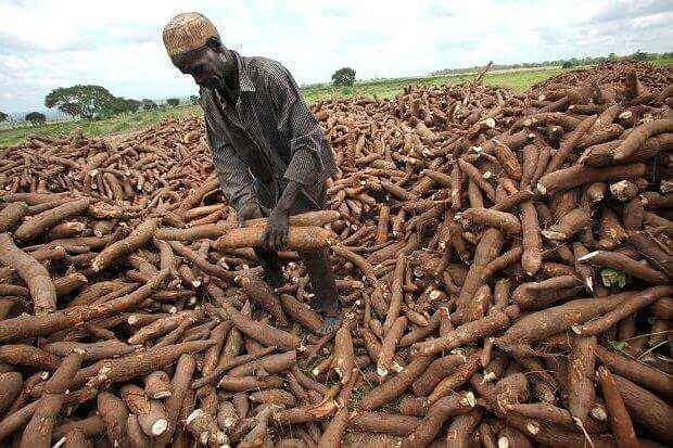 Image result for CASSAVA IN NIGERIA