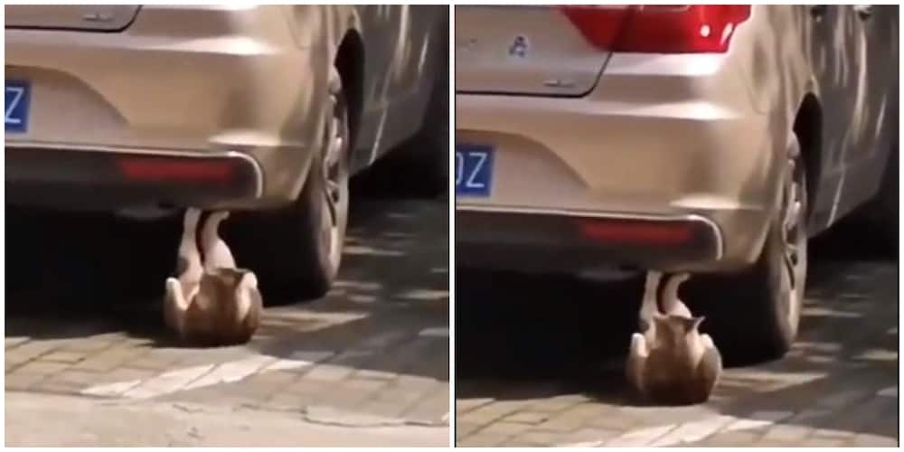 Mysterious: Cat Captured Doing Sit-Ups Under a car, Video Goes Viral, Sparks Reactions on Social Media