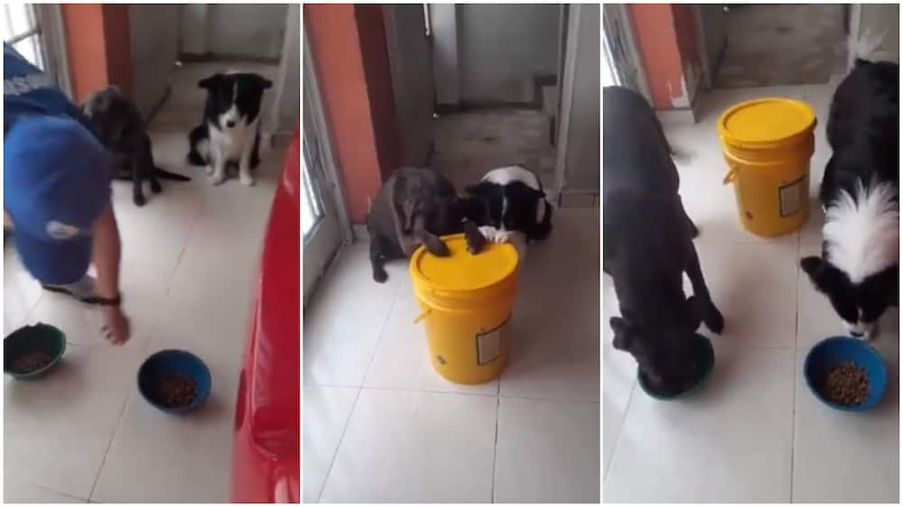 Cute moment dogs prays before eating, their video goes viral