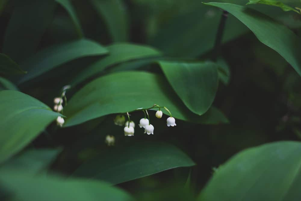 Lily of the valley is considered the key to love and happiness