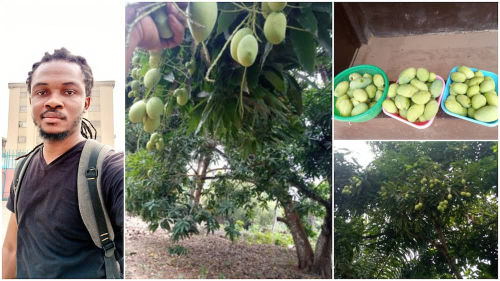 Nigerian Man Shows off Village Tree that Produces 10,000 Mangoes every Year, Many React