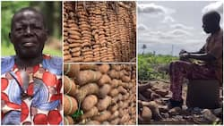 I harvested over 1m tubers of yam, farming is lucrative - Nigerian man with 7 wives, 27 kids speaks in video