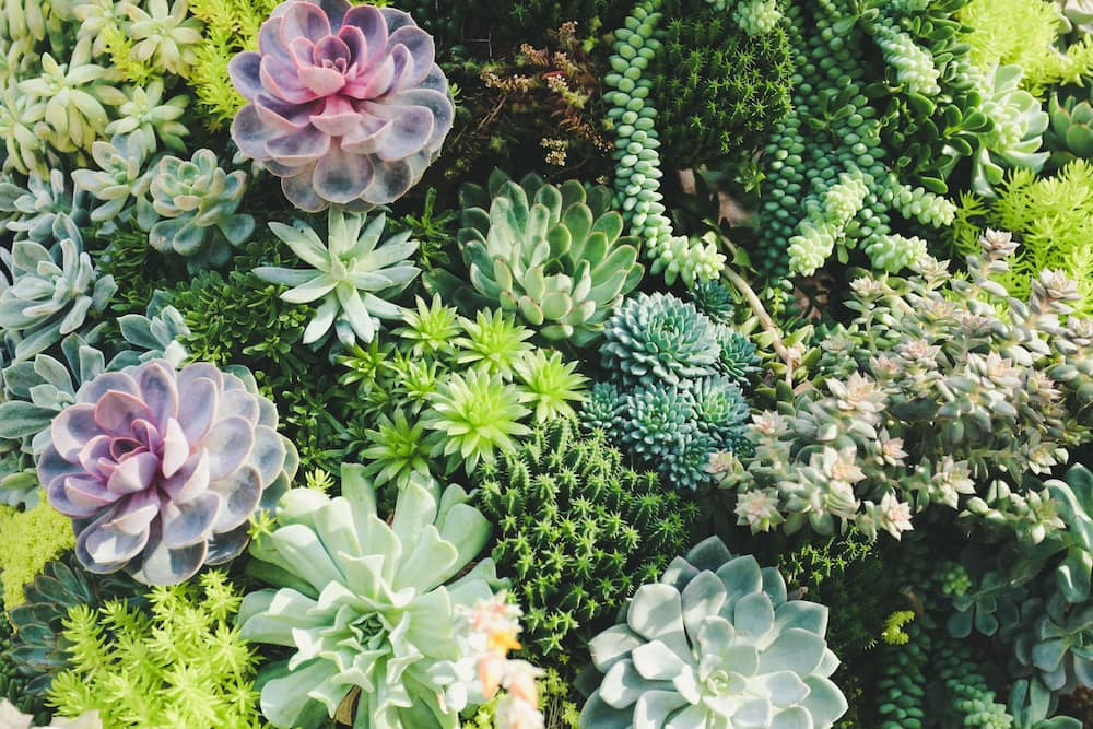 Popular Types Of Succulents With Pictures Legit Ng