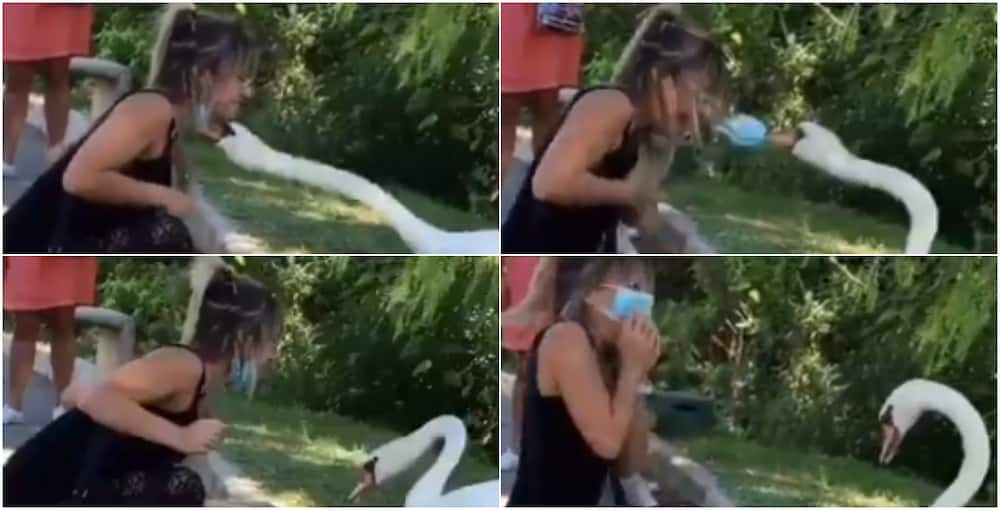 Swan 'Forces' Woman To Wear A Mask Properly In Viral Video