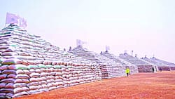Great news as presidency releases crucial update on Nigerian rice, shares reassuring photo