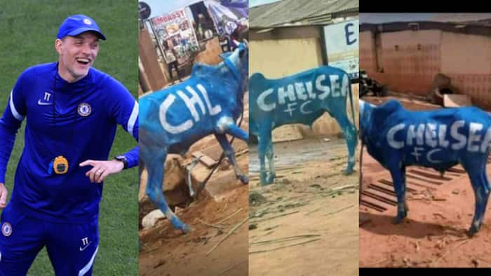 Excited Chelsea fans in Nigeria lavish cash on cows, paint them in Blue ahead of Champions League final
