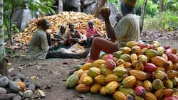 2,000 farmers to benefit from cocoa production partnership in Osun