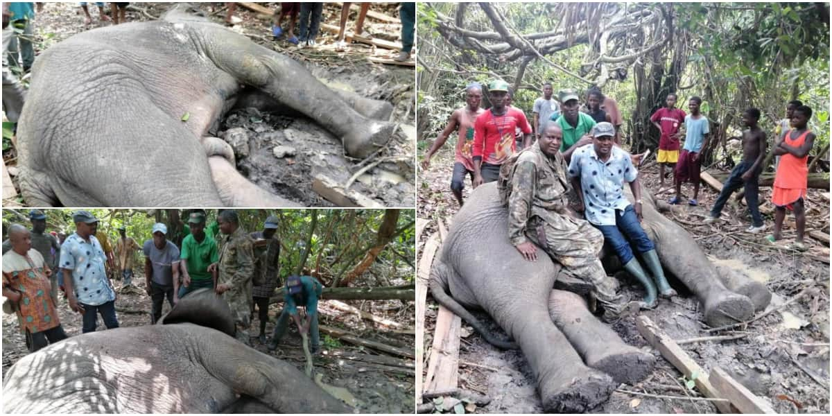Massive Reactions as Hunters Kill 4th Elephant in 2 Years in Ogun State