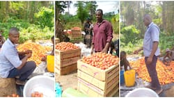 Man shows off the huge tomatoes harvested from his farm, people wonder why many of the fruits are yellow