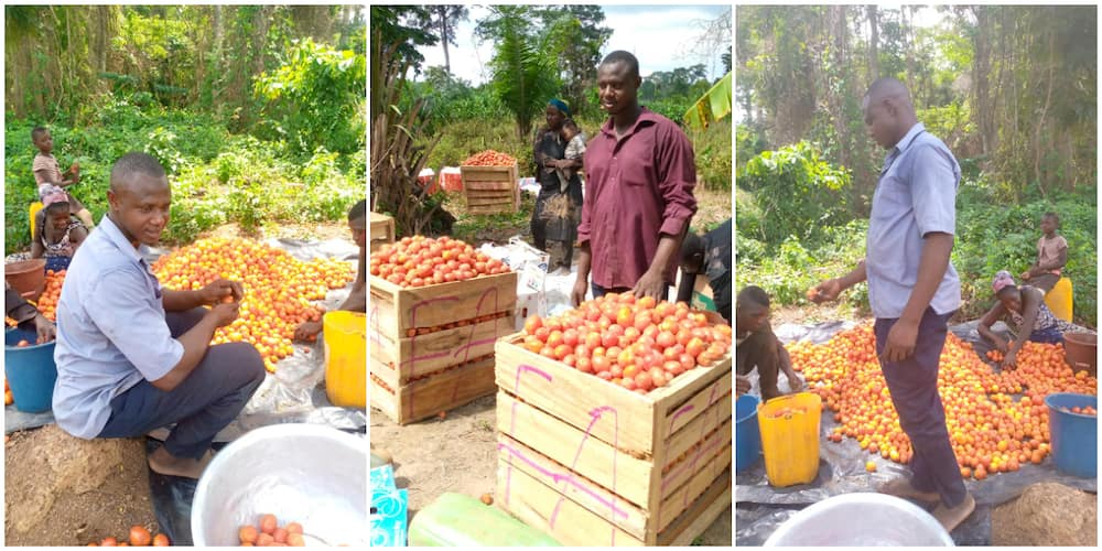 Mixed reactions as man shows off the bountiful tomatoes harvest recorded on his farm