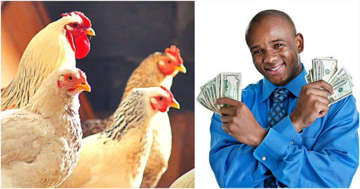 Best Breeds of Broiler in Nigeria