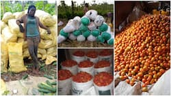 Female Nigerian graduate turns to farming, shows off bountiful harvests of tomatoes, maize, cucumbers