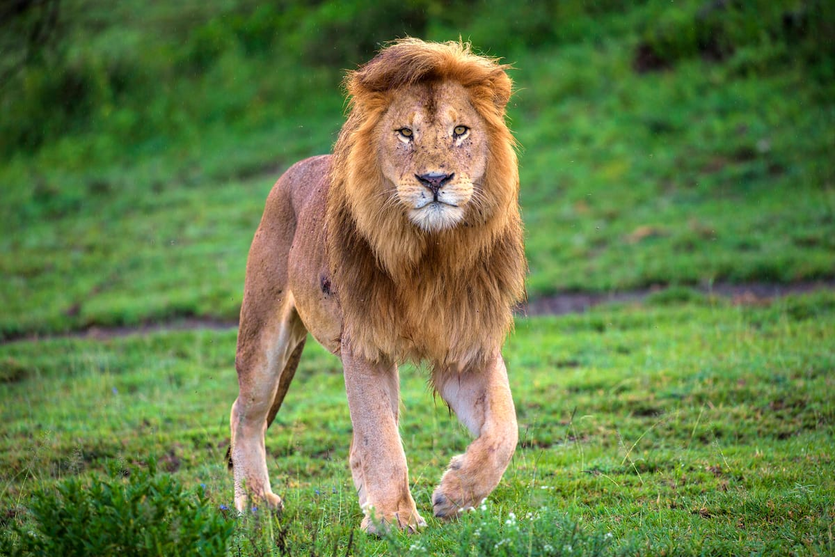 Fear as lion escapes from Kano zoological garden - Latest News in Nigeria & Breaking Naija News 24/7 | LEGIT.NG