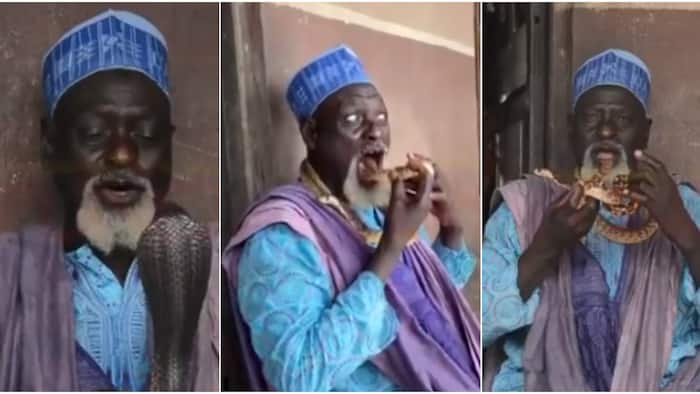 71-year-old Nigerian man wows social media as he tells snakes to dance, puts them in his mouth in scary performance (video)