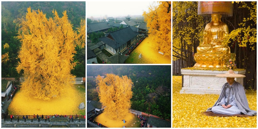 Beautiful Photos of 1400-Year-Old Tree that Sheds Golden Leaves Stun the Internet, Many Want the Leaves