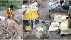 Nigerian lady who recently harvested cassava from her farm showcases bags of garri it produced, many react