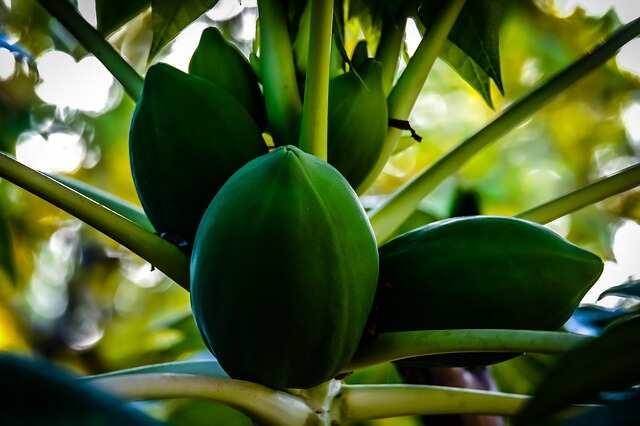 Green papaya benefits