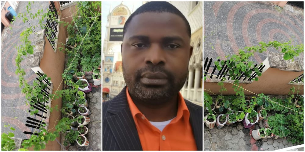 Nigerian Man who Grows Crops above Ground Showcases His Farming Style Produce, Says One Doesn't Need a Farm