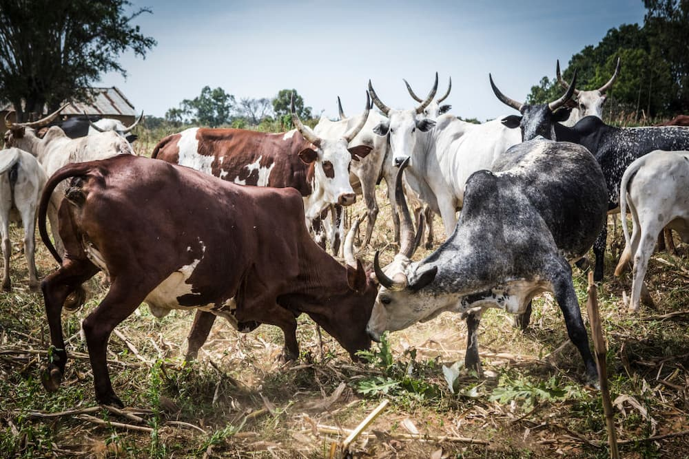Nigeria has nothing to gain from open grazing, Southeast lawmaker declares