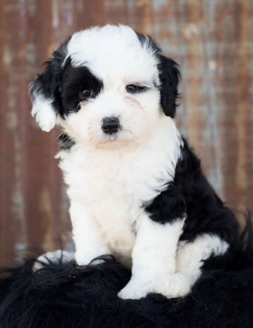 what is a sheepadoodle