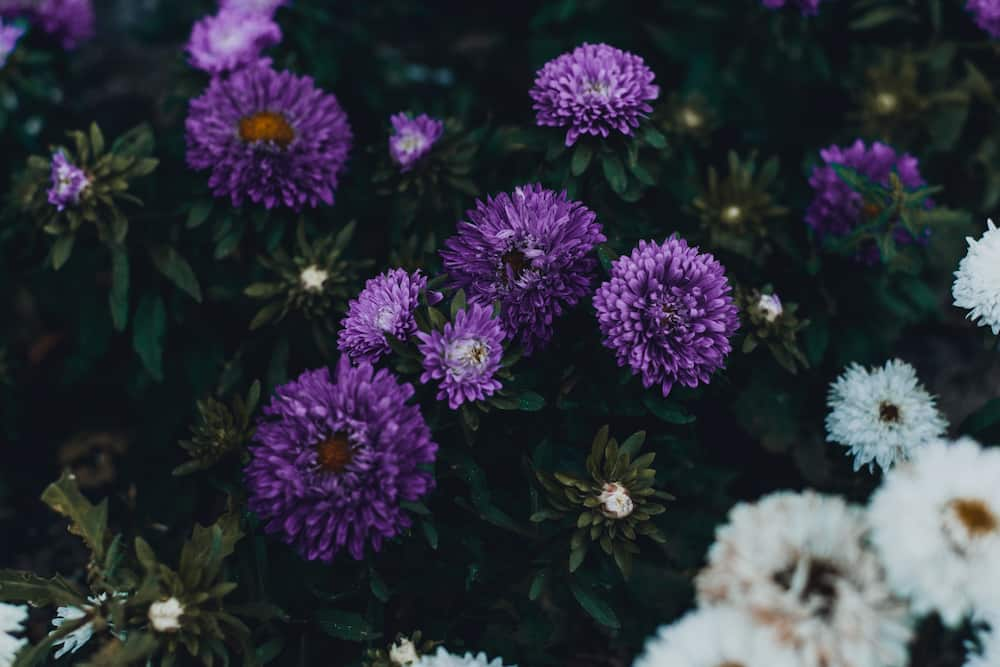 Aster is a symbol of love and grace