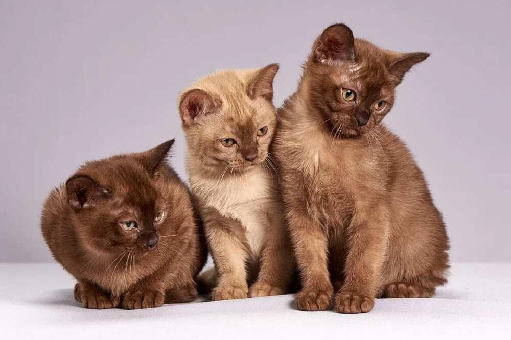 Races de chats chères