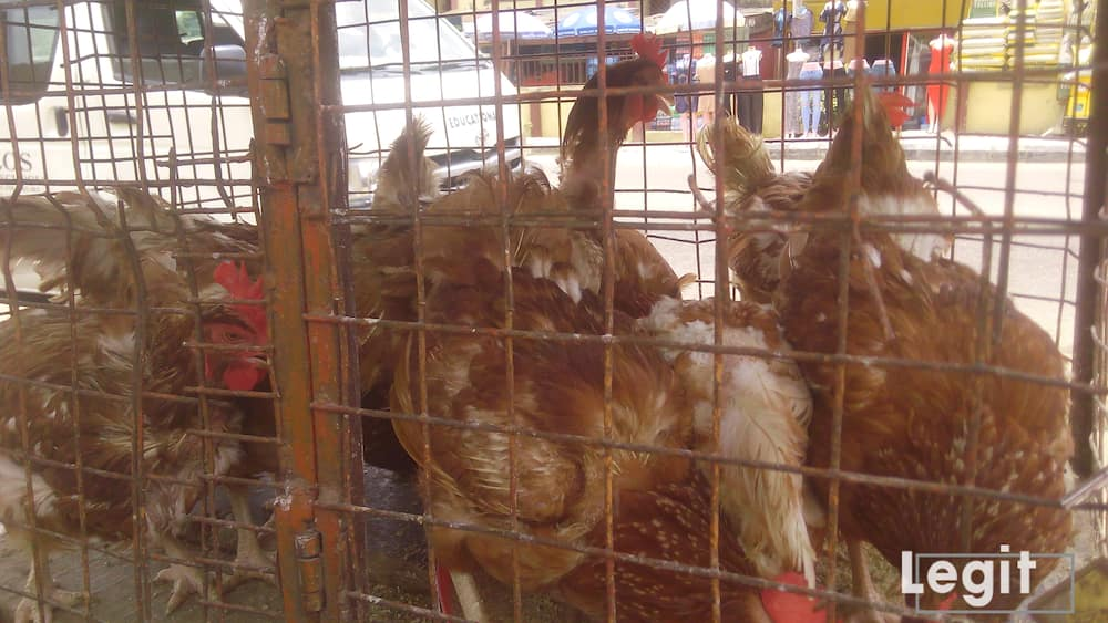 Live chicken are very expensive this season due to high cost of their foods. Photo credit: Esther Odili