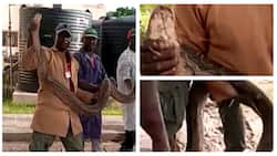 Chaos as workers battle reptiles, catch giant python in Nigerian university, video, photos emerge