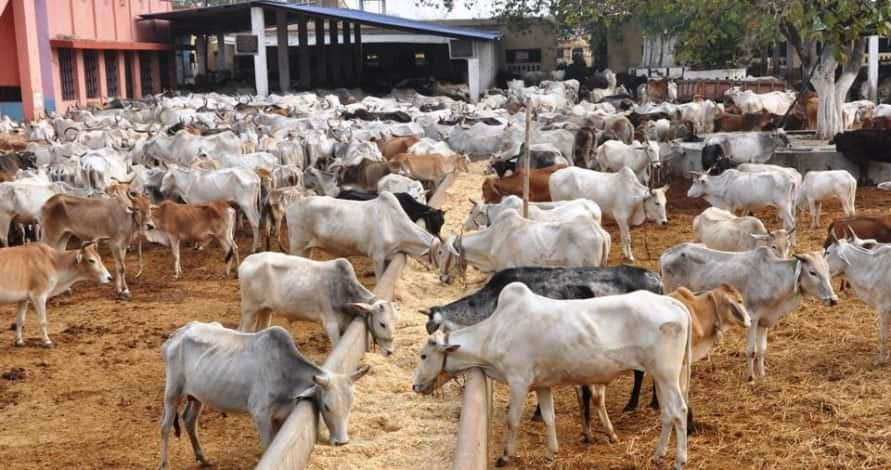 Cows test positive for Bovine Tuberculosis in Abia state