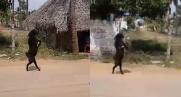 He's goat it!: Villagers left stunned after watching goat walk with hind legs