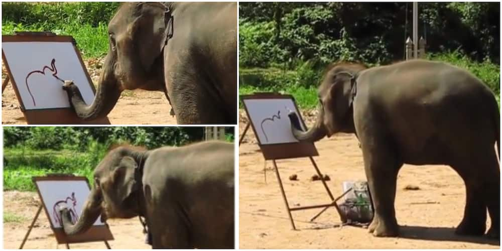 Incredible Video of Moment Elephant Made Beautiful Painting of Itself Stuns the Internet, Causes Stir