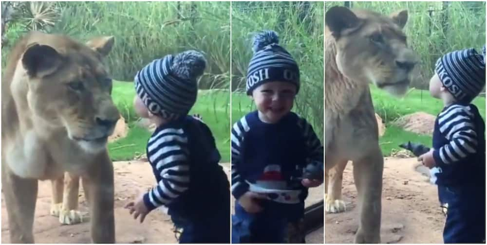 Social media reacts to heartwarming video of toddler kissing a lion